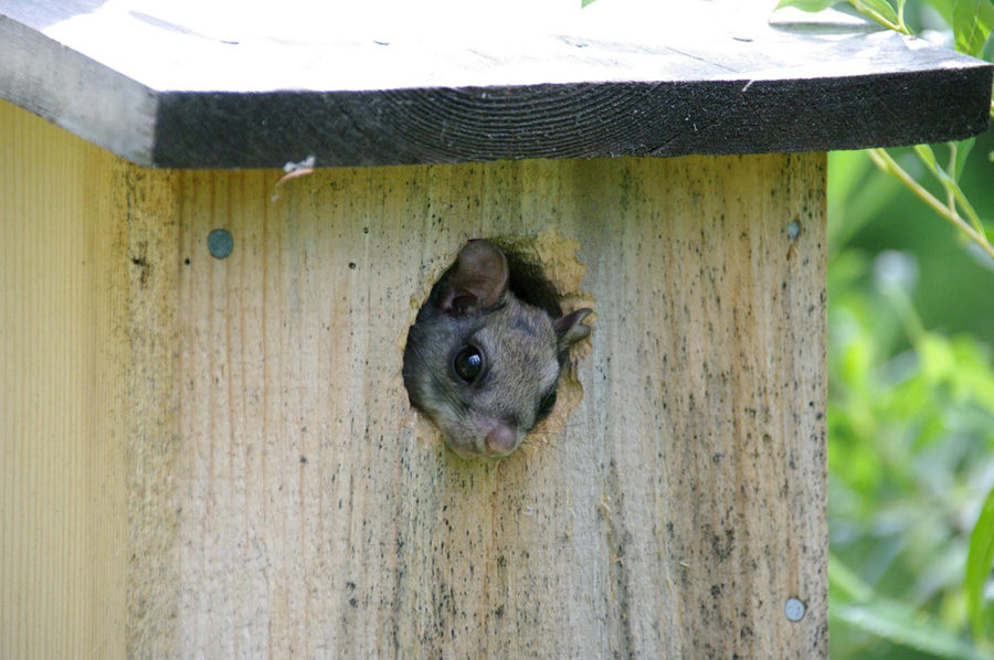 Flying squirrel in nesting box photo by Chloe Lahondere and Clement Vinauger